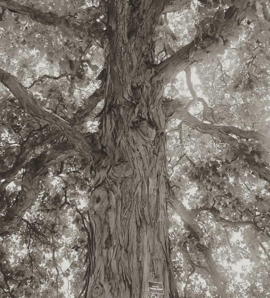 shag-bark-hickory-2016